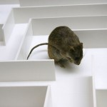 Are rats leading the way towards augmented intelligence?