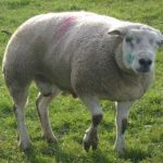 The Wearable Device That Can Detect Lameness In Sheep